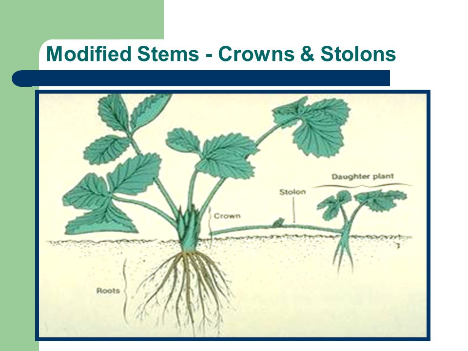 Modified Stems - Crowns & Stolons