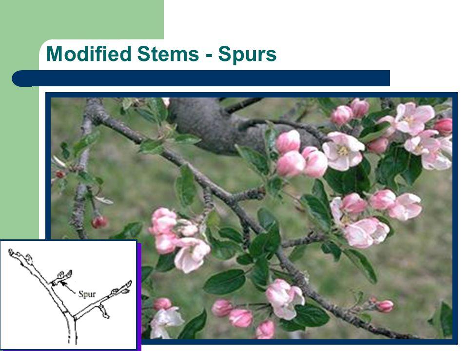 Modified Stems - Spurs