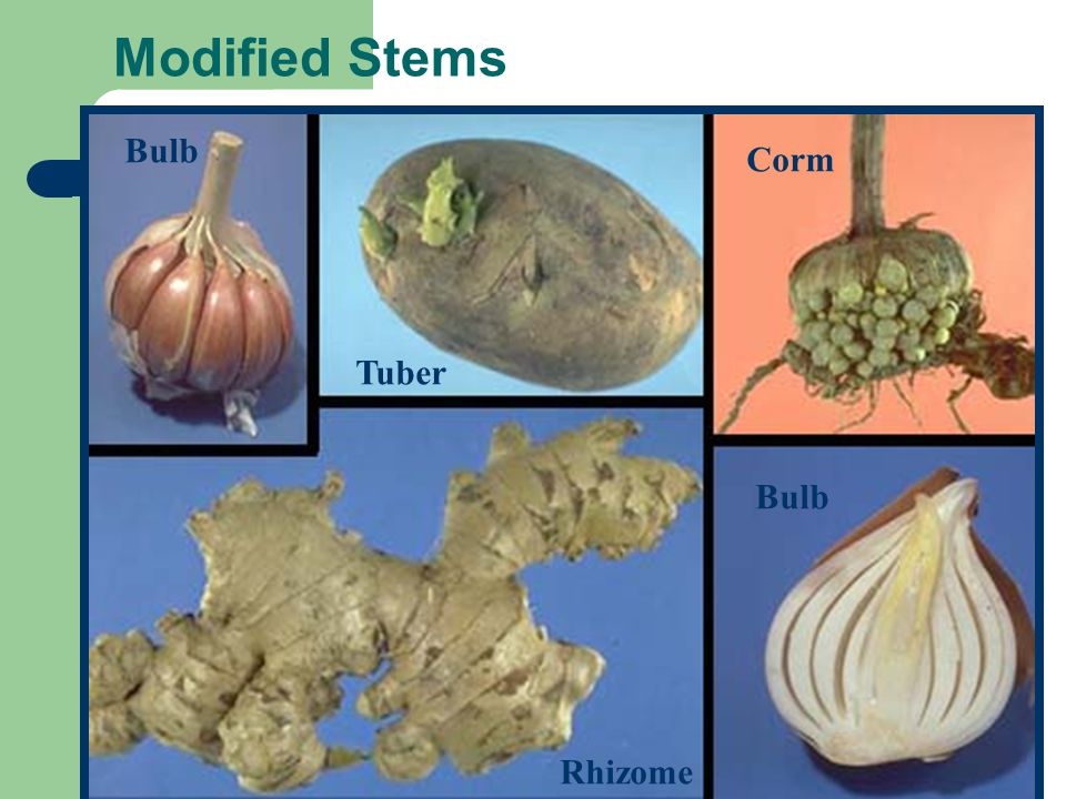 Modified Stems Bulb Tuber Rhizome Bulb Corm
