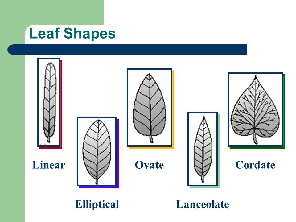 Leaf Shapes Linear Elliptical Ovate Lanceolate Cordate