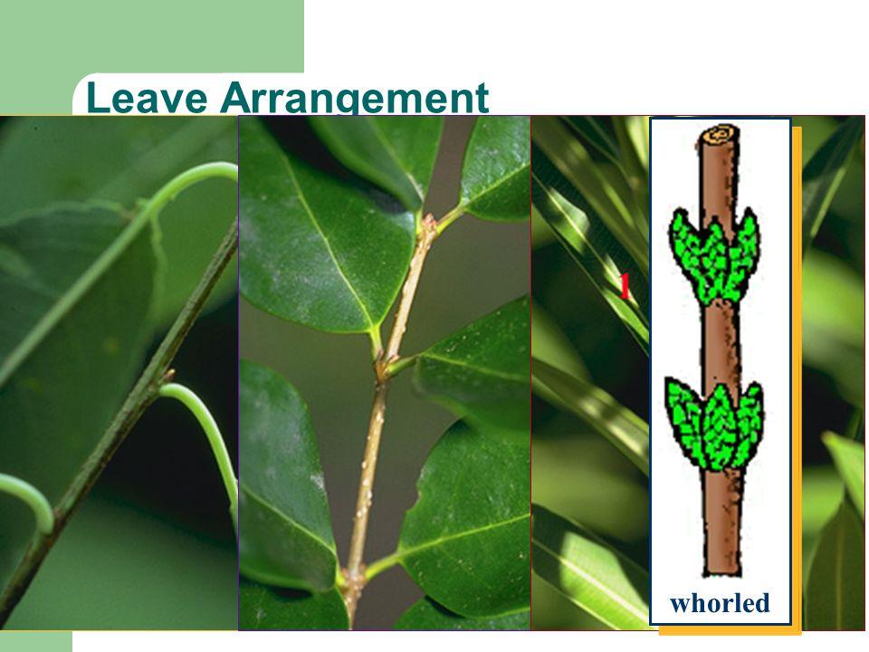 Leave Arrangement alternate opposite whorled