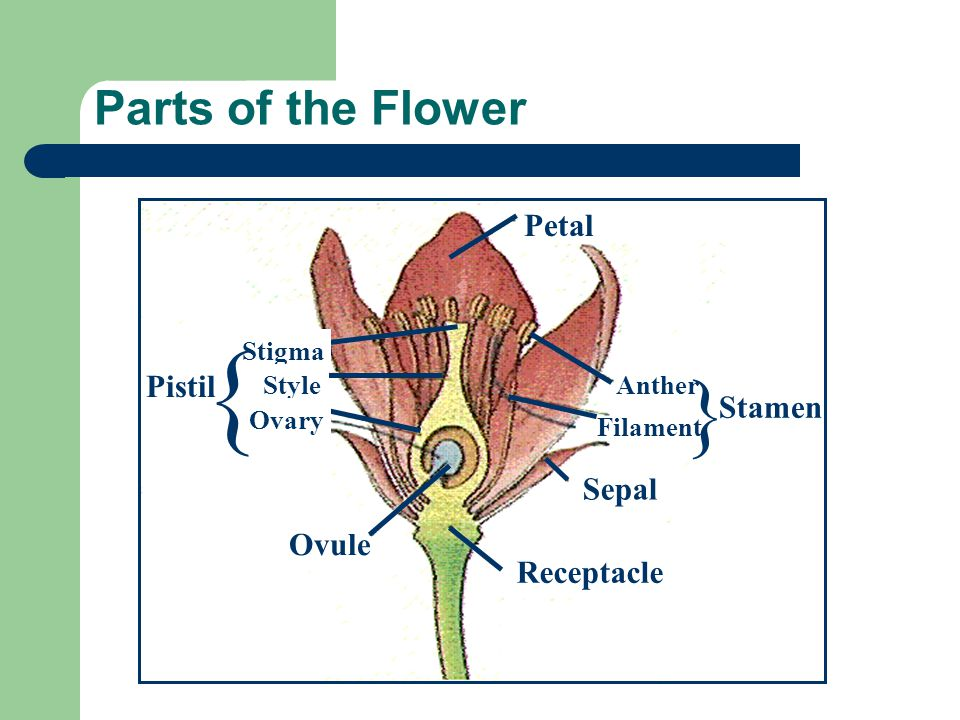 Parts of the Flower Petal Anther Filament Sepal Ovule Receptacle Stigma Style Ovary } Stamen { Pistil
