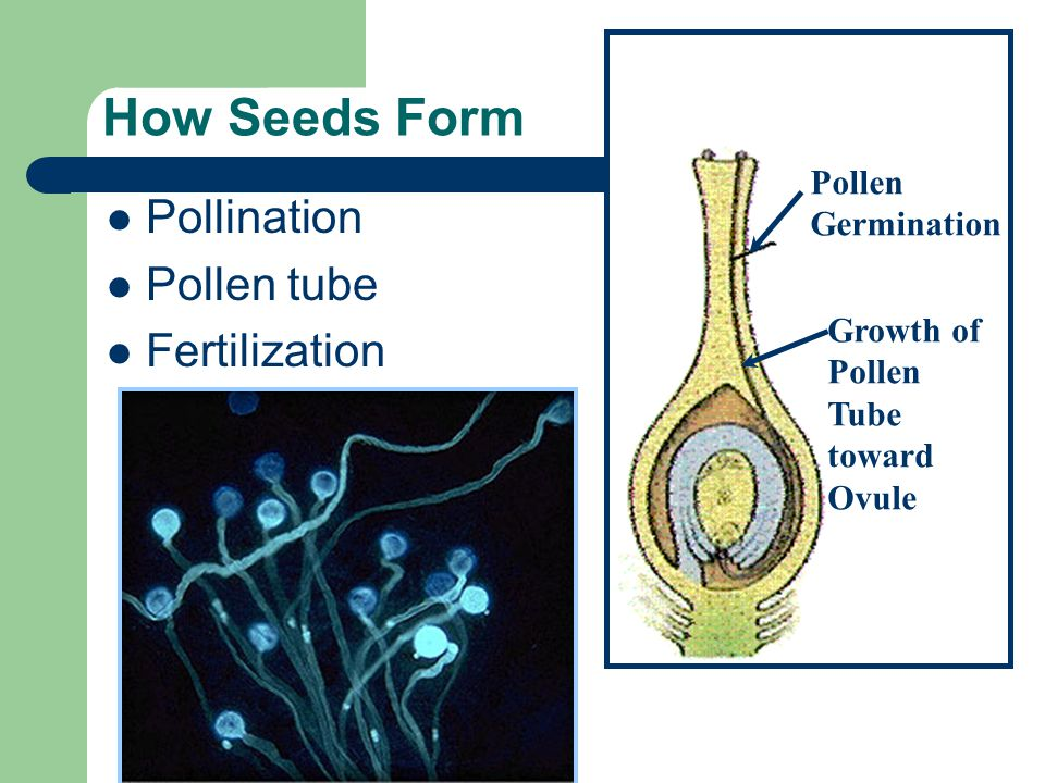 How Seeds Form Pollination Pollen tube Fertilization Pollen Germination Growth of Pollen Tube toward Ovule