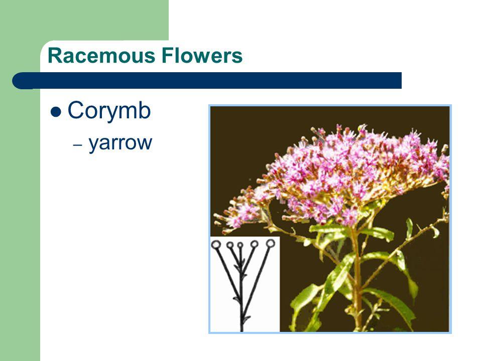 Racemous Flowers Corymb – yarrow