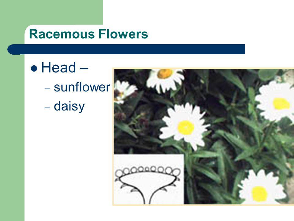 Racemous Flowers Head – – sunflower – daisy