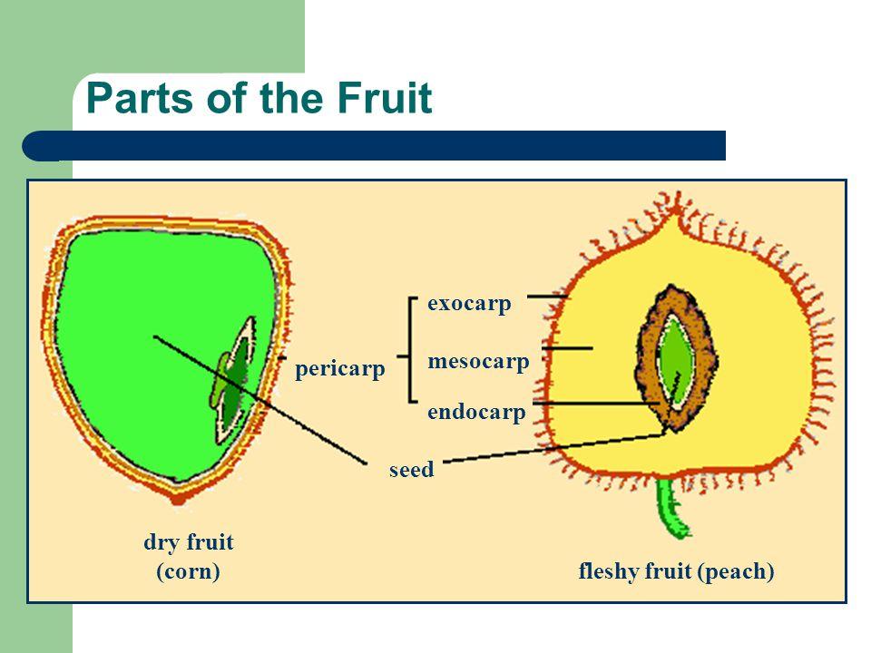 Parts of the Fruit seed dry fruit (corn) fleshy fruit (peach) exocarp mesocarp endocarp pericarp