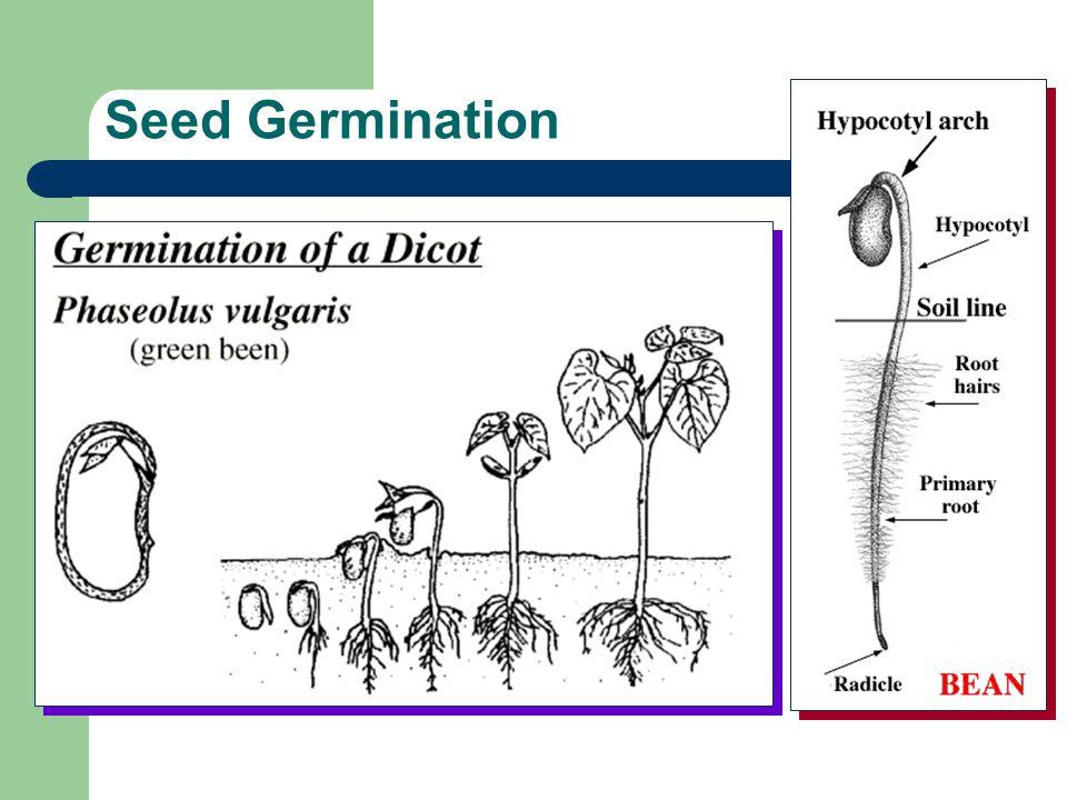 Seed Germination Water Light Heat Oxygen