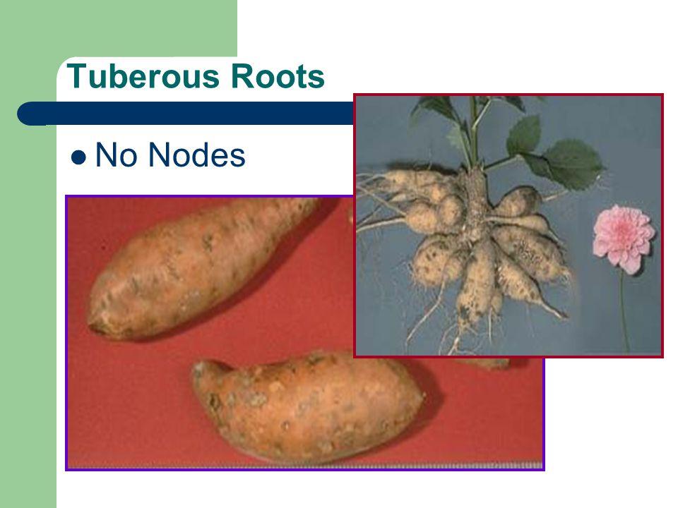 Tuberous Roots No Nodes