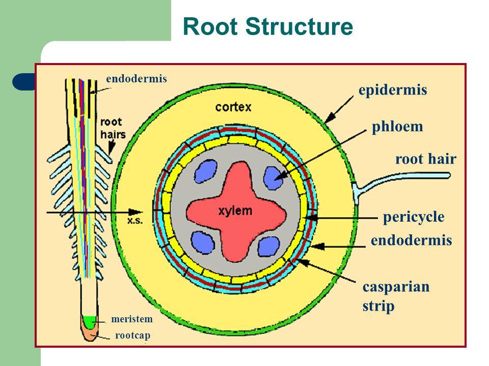 Root Structure endodermis epidermis phloem root hair pericycle endodermis casparian strip meristem rootcap