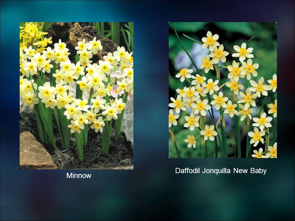 Minnow Daffodil Jonquilla New Baby