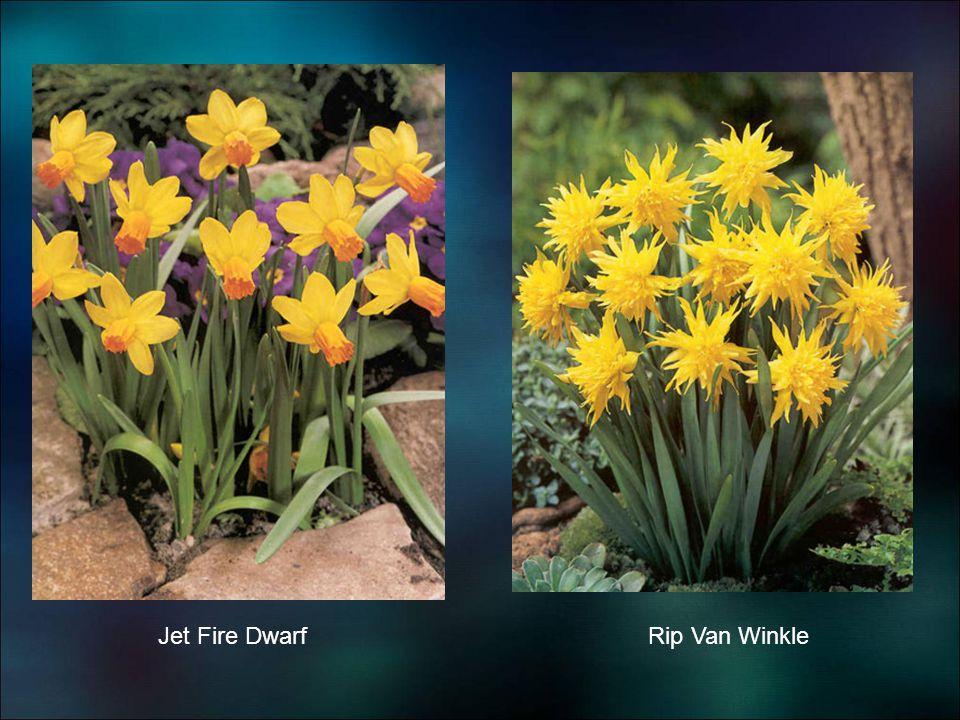 Jet Fire DwarfRip Van Winkle