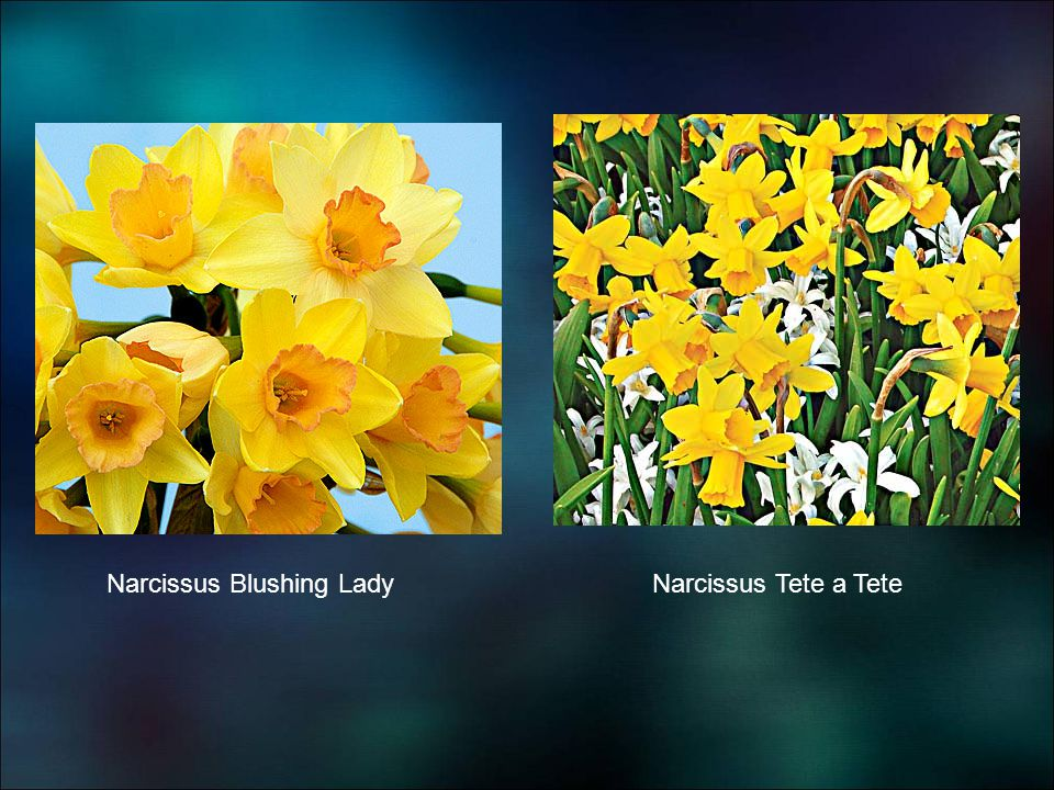 Narcissus Blushing LadyNarcissus Tete a Tete