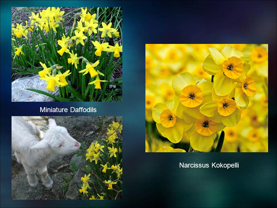 Narcissus Kokopelli Miniature Daffodils