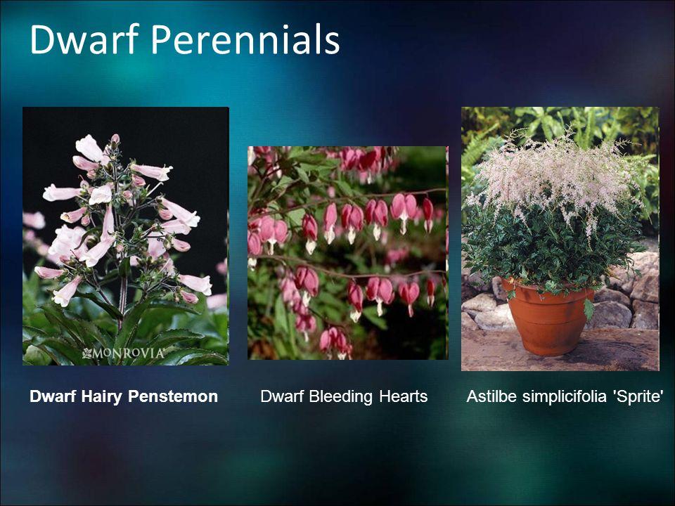 Dwarf Perennials Dwarf Hairy Penstemon Astilbe simplicifolia 'Sprite'Dwarf Bleeding Hearts