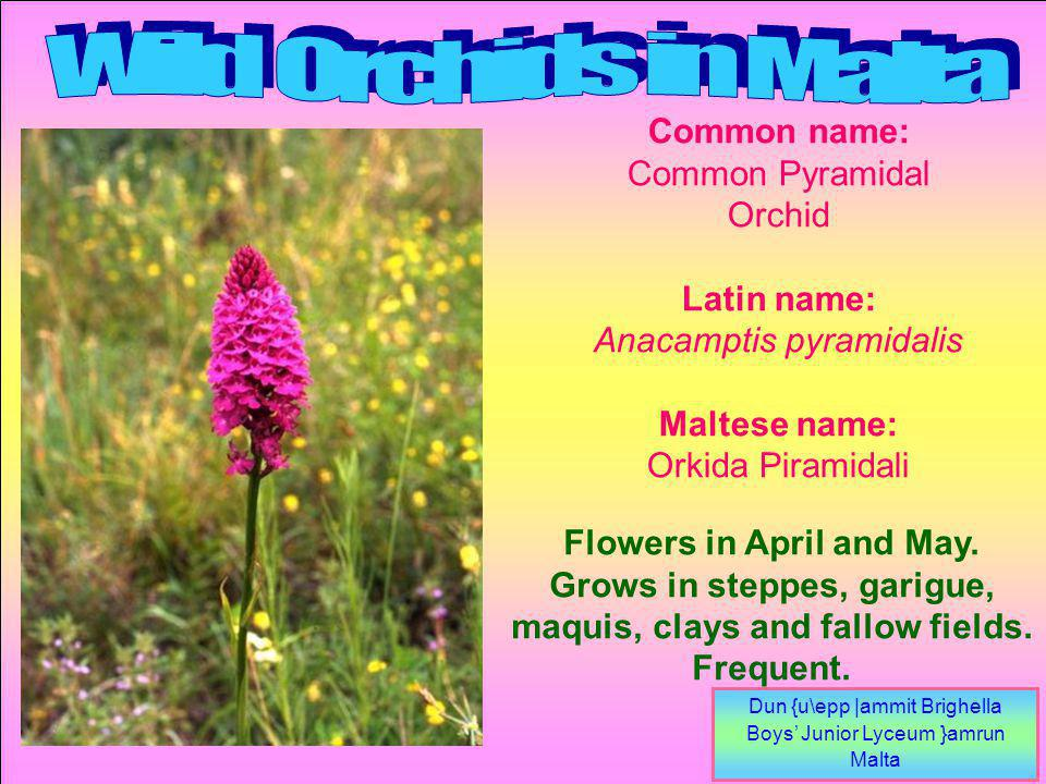 Dun {u\epp |ammit Brighella Boys Junior Lyceum }amrun Malta Flowers in April and May.