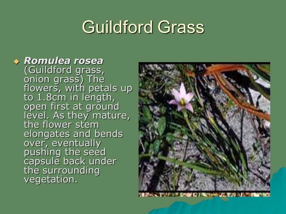 Guildford Grass Romulea rosea (Guildford grass, onion grass) The flowers, with petals up to 1.8cm in length, open first at ground level.