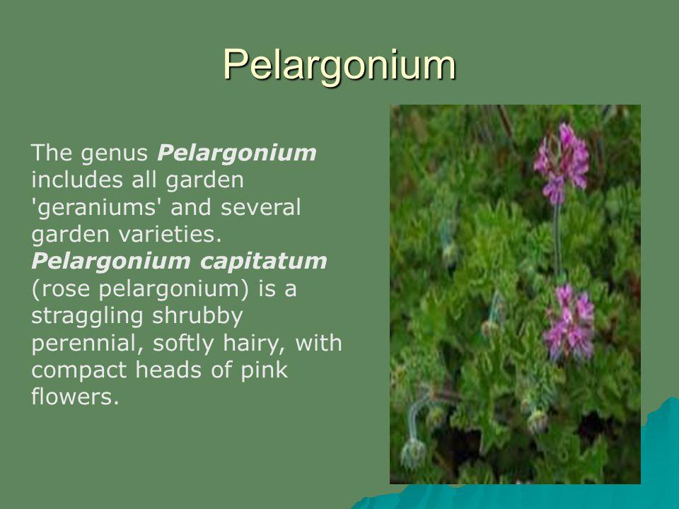Pelargonium The genus Pelargonium includes all garden 'geraniums' and several garden varieties. Pelargonium capitatum (rose pelargonium) is a straggli