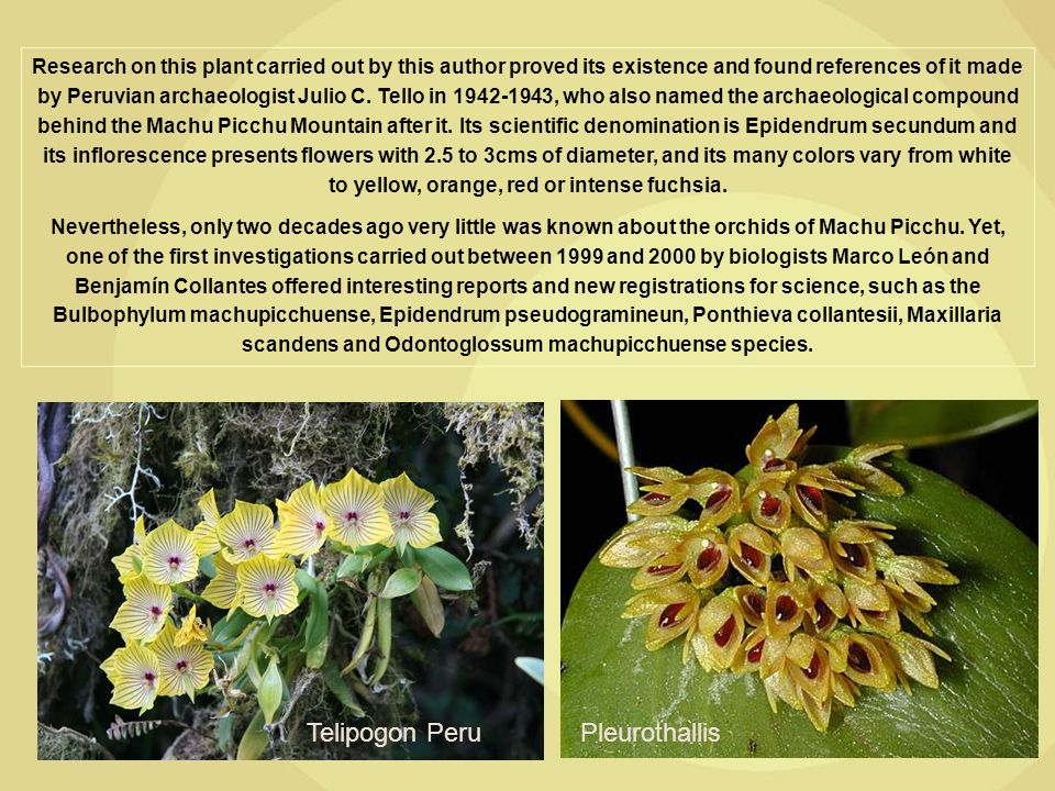 Research on this plant carried out by this author proved its existence and found references of it made by Peruvian archaeologist Julio C. Tello in 194