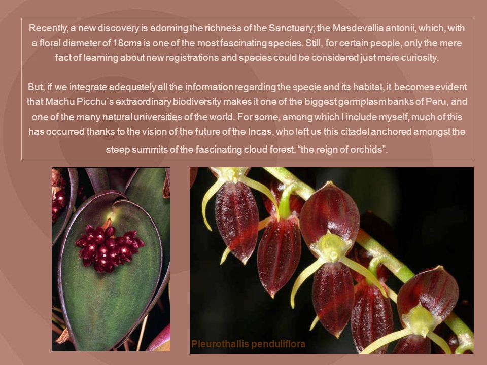 Recently, a new discovery is adorning the richness of the Sanctuary; the Masdevallia antonii, which, with a floral diameter of 18cms is one of the mos