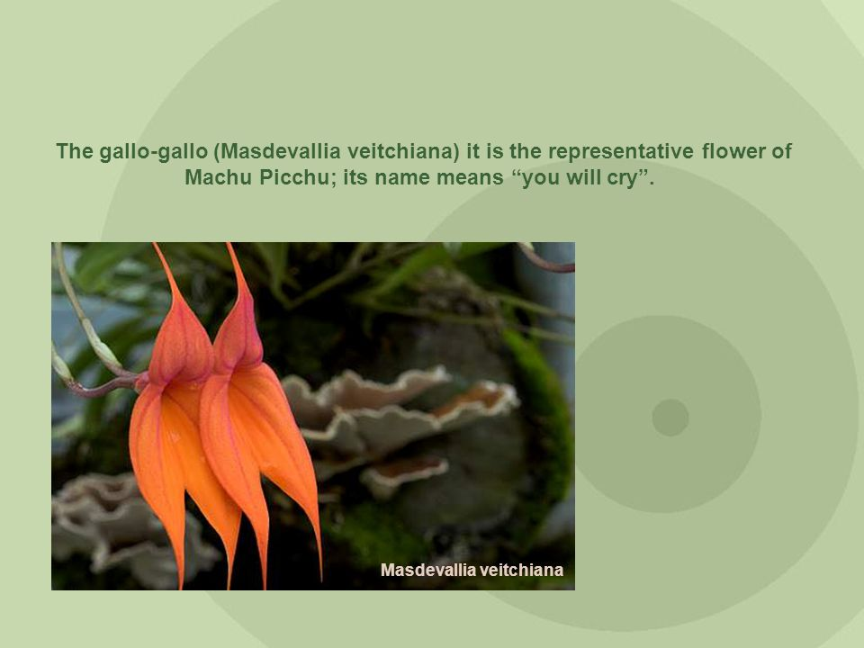 The gallo-gallo (Masdevallia veitchiana) it is the representative flower of Machu Picchu; its name means you will cry. Masdevallia veitchiana