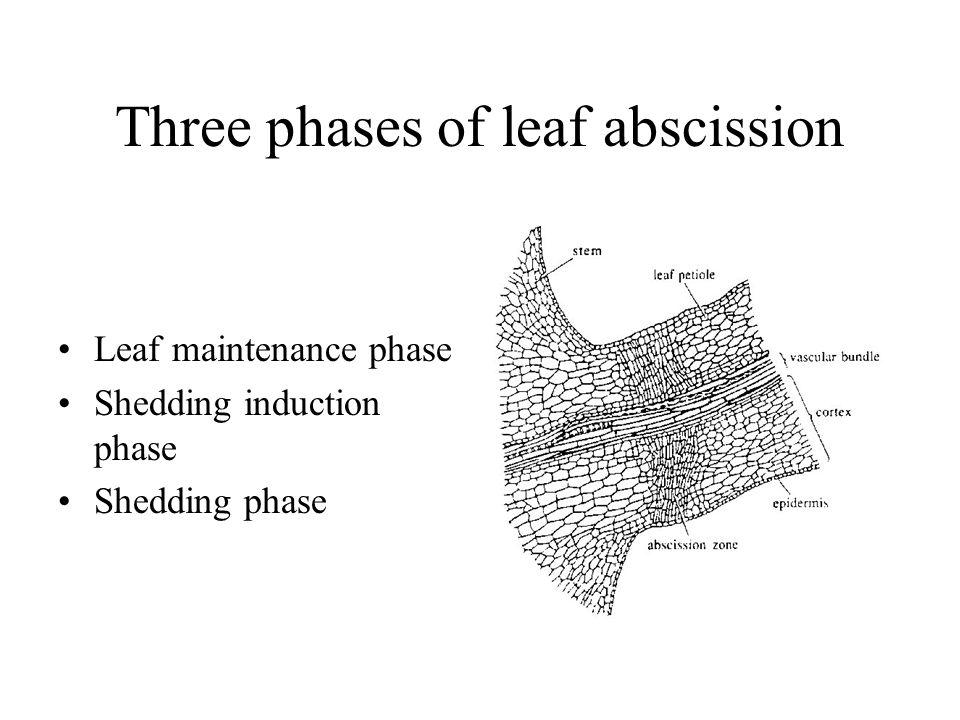 Three phases of leaf abscission Leaf maintenance phase Shedding induction phase Shedding phase