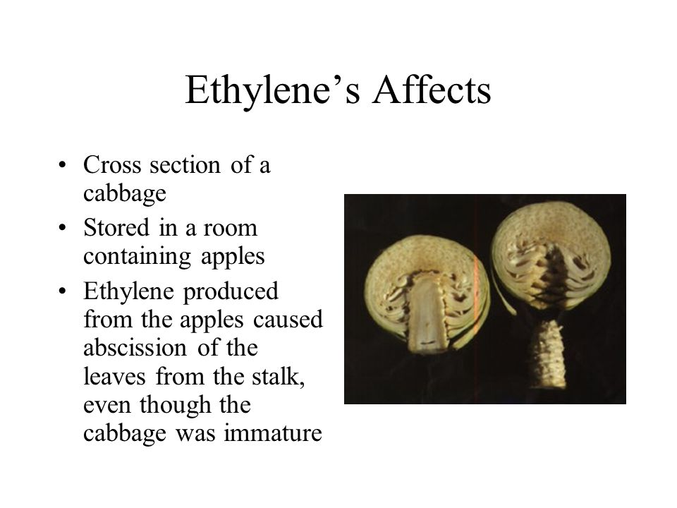 Ethylenes Affects Cross section of a cabbage Stored in a room containing apples Ethylene produced from the apples caused abscission of the leaves from