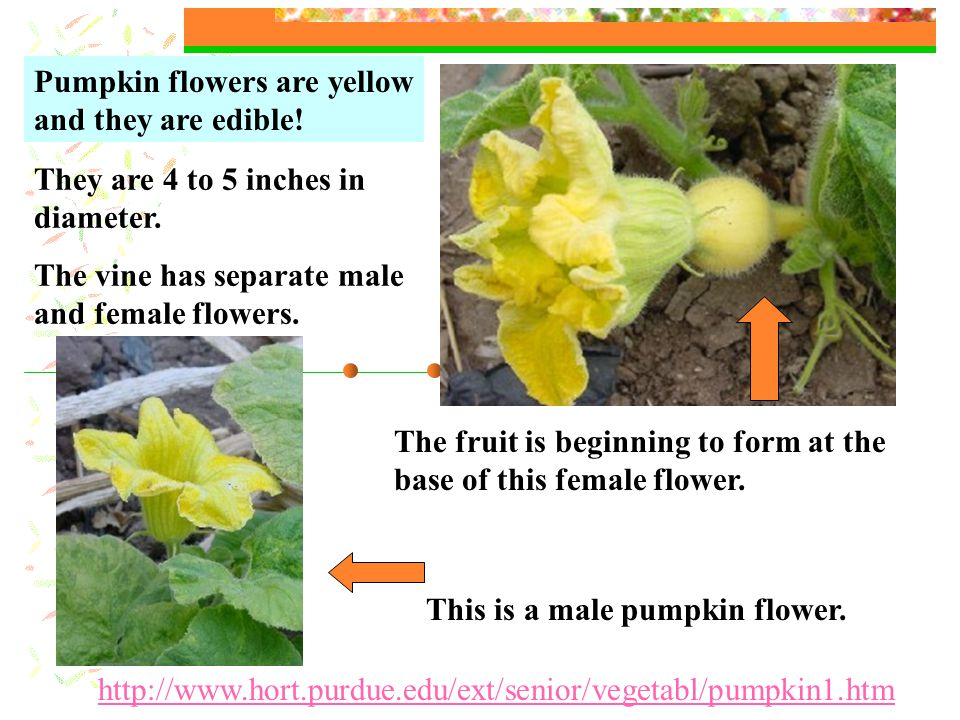 This is a male pumpkin flower. They are 4 to 5 inches in diameter.