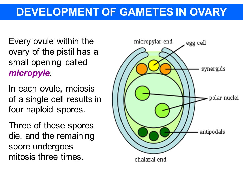 DEVELOPMENT OF GAMETES IN OVARY Every ovule within the ovary of the pistil has a small opening called micropyle.