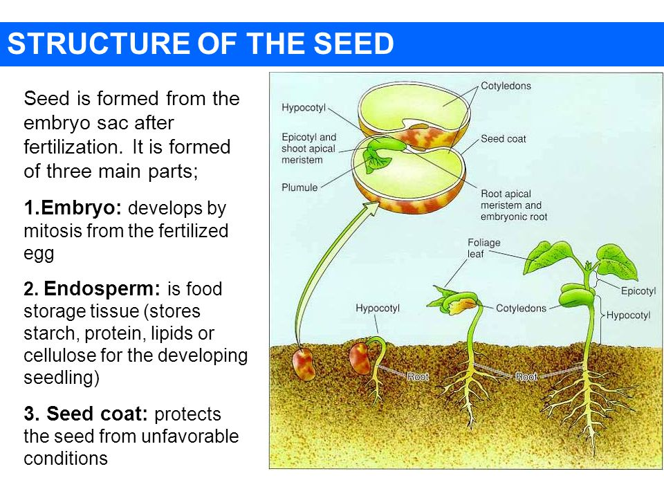 STRUCTURE OF THE SEED Seed is formed from the embryo sac after fertilization.