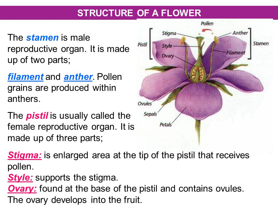 STRUCTURE OF A FLOWER The stamen is male reproductive organ.