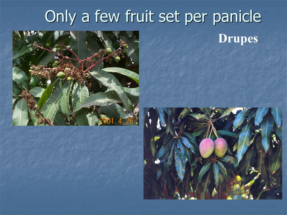 Only a few fruit set per panicle Drupes