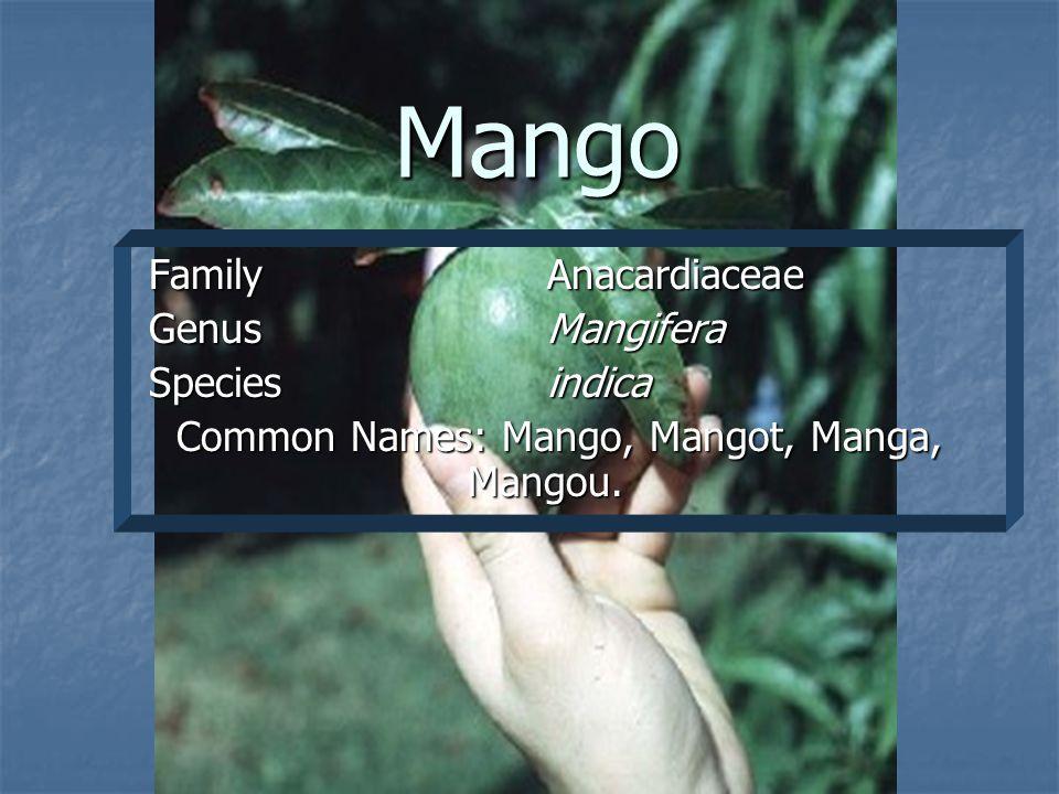 Mango Family Anacardiaceae Family Anacardiaceae GenusMangifera GenusMangifera Speciesindica Speciesindica Common Names: Mango, Mangot, Manga, Mangou.