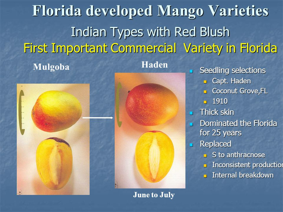 Florida developed Mango Varieties Indian Types with Red Blush First Important Commercial Variety in Florida Haden June to July Seedling selections See