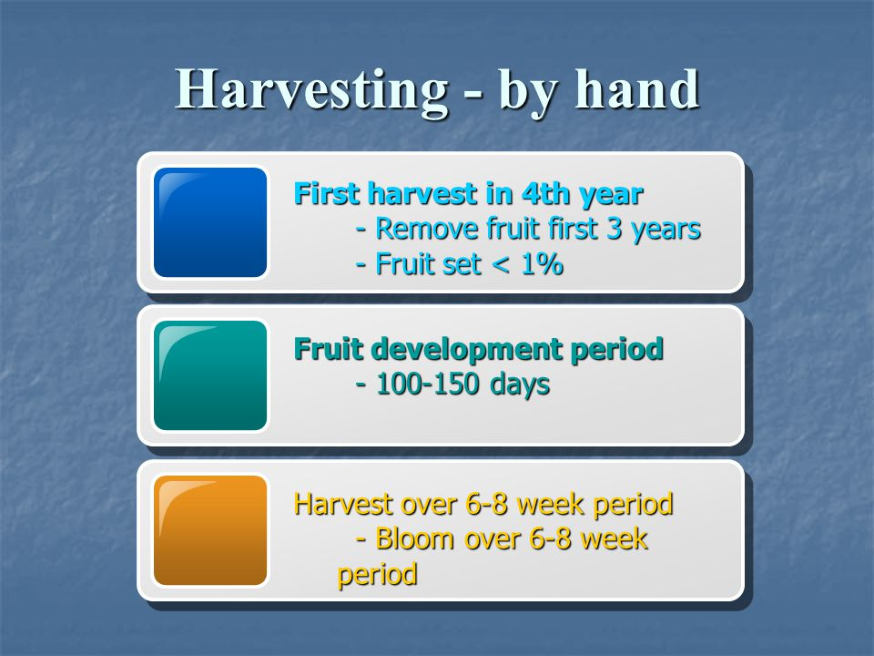 Harvesting - by hand First harvest in 4th year - Remove fruit first 3 years - Remove fruit first 3 years - Fruit set < 1% - Fruit set < 1% Fruit devel