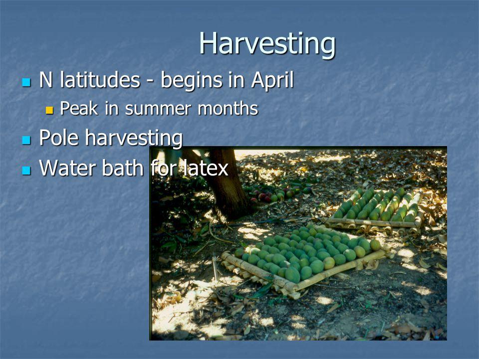 Harvesting N latitudes - begins in April N latitudes - begins in April Peak in summer months Peak in summer months Pole harvesting Pole harvesting Water bath for latex Water bath for latex