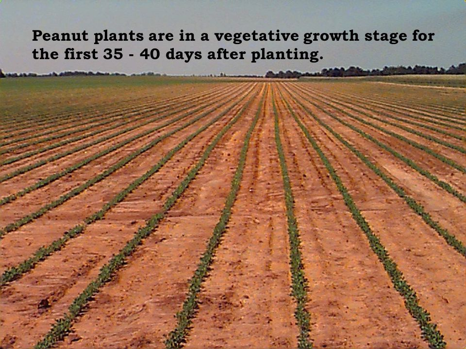 Peanut plants are in a vegetative growth stage for the first 35 - 40 days after planting.