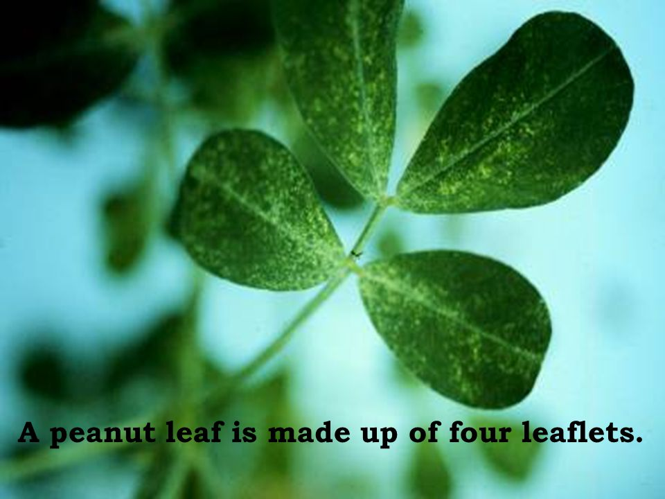 A peanut leaf is made up of four leaflets.