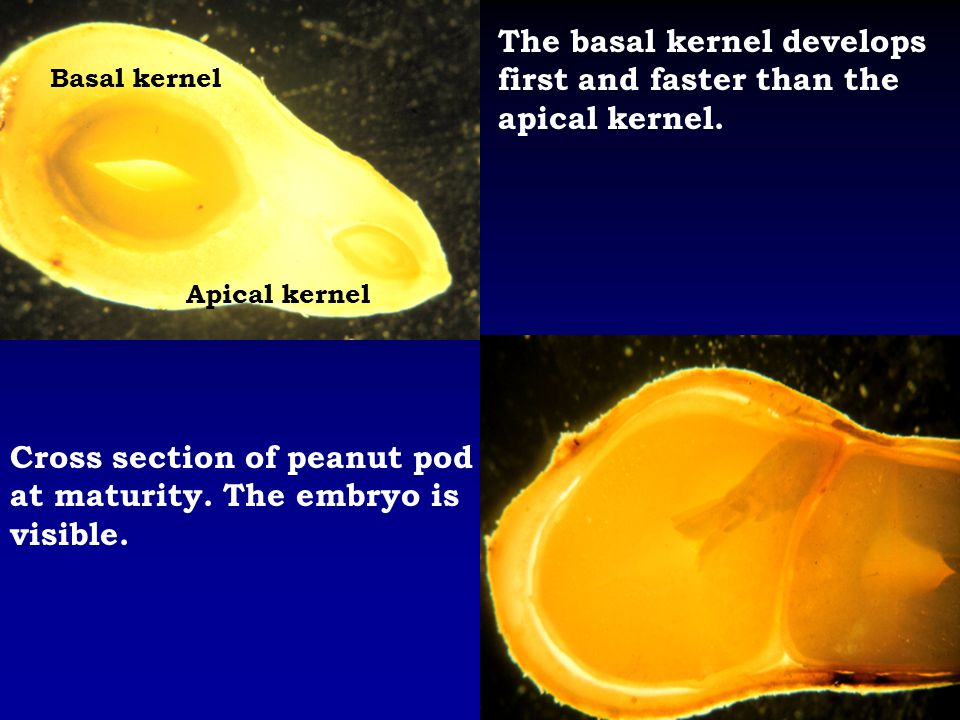The basal kernel develops first and faster than the apical kernel. Basal kernel Apical kernel Cross section of peanut pod at maturity. The embryo is v