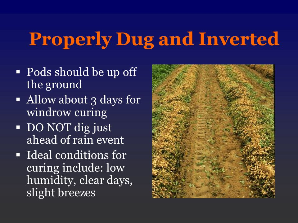 Properly Dug and Inverted Pods should be up off the ground Allow about 3 days for windrow curing DO NOT dig just ahead of rain event Ideal conditions for curing include: low humidity, clear days, slight breezes