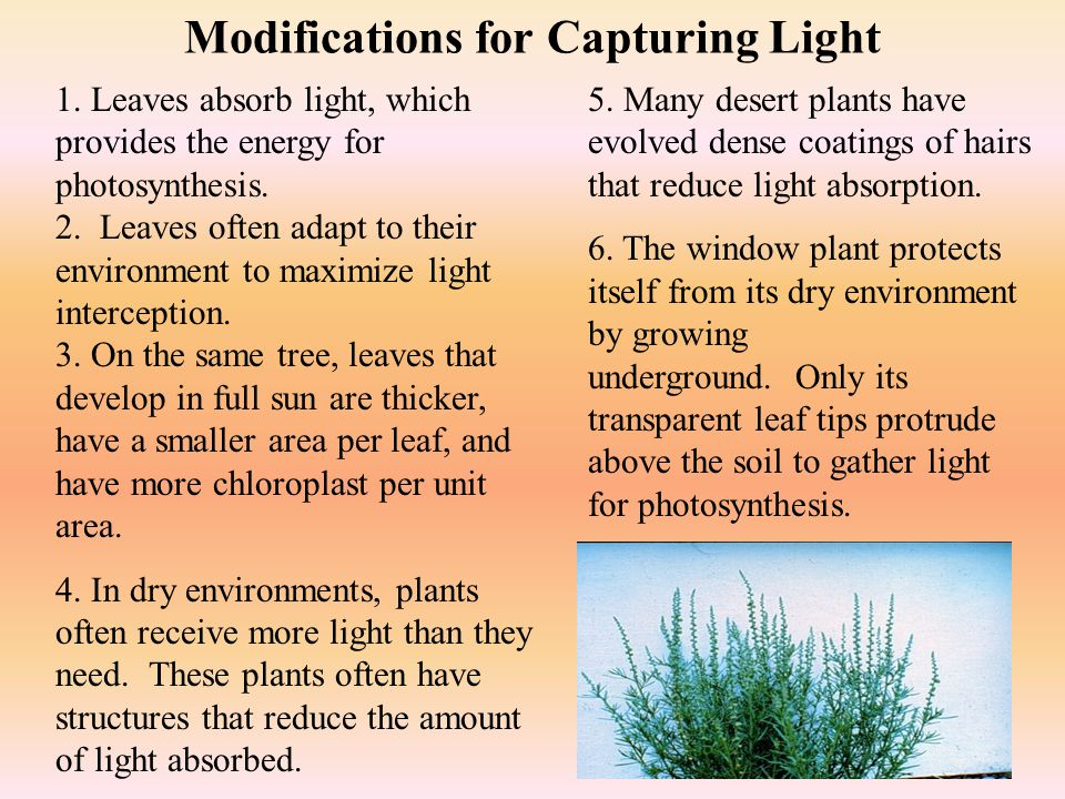 Leaf Functions 1. Leaves are the primary site of photosynthesis in most plants.