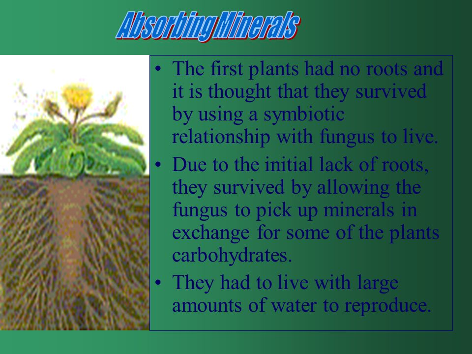 The first plants had no roots and it is thought that they survived by using a symbiotic relationship with fungus to live.