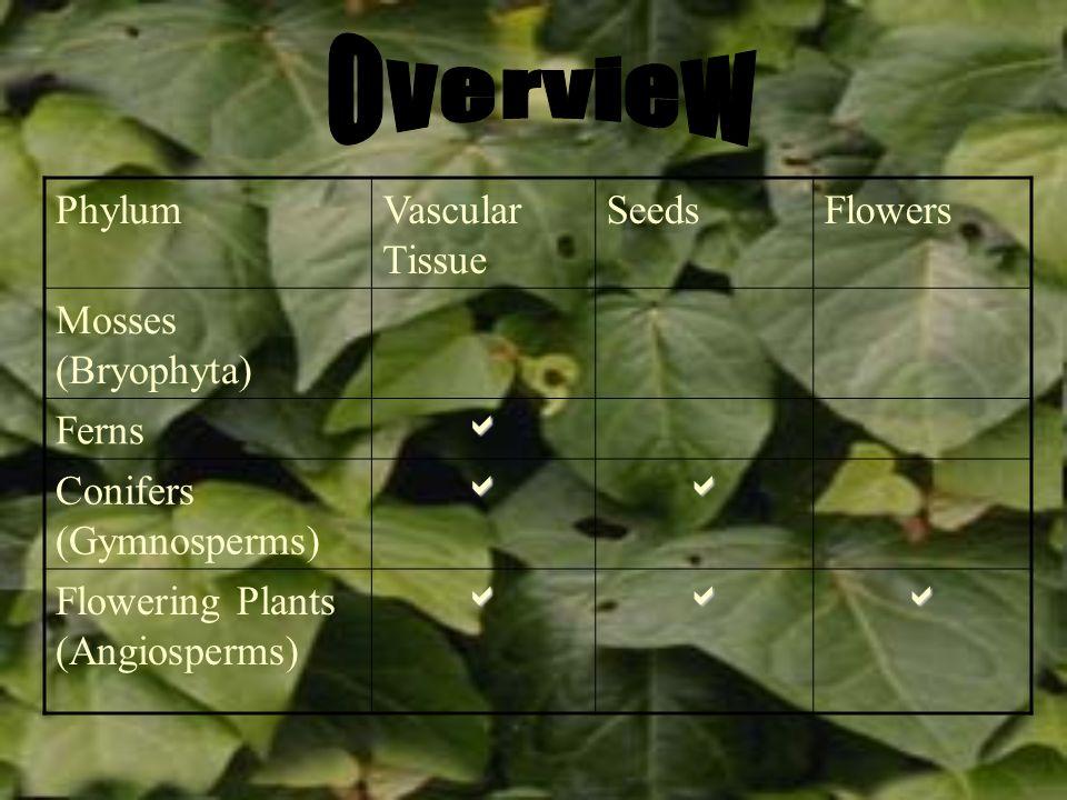 PhylumVascular Tissue SeedsFlowers Mosses (Bryophyta) Ferns Conifers (Gymnosperms) Flowering Plants (Angiosperms)