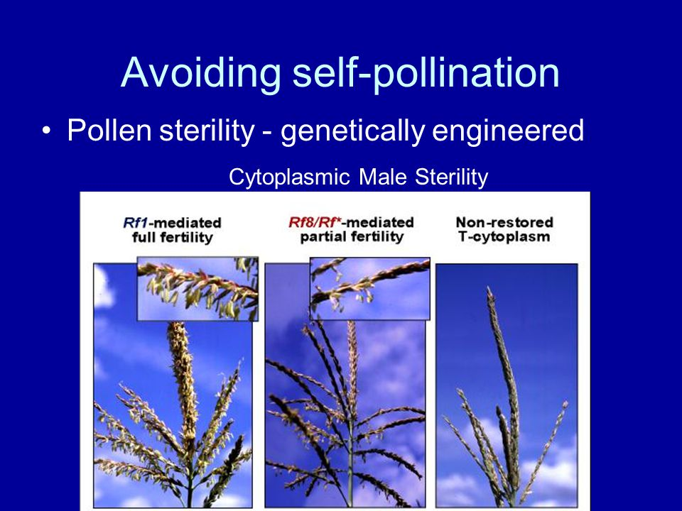 Avoiding self-pollination Pollen sterility - genetically engineered Cytoplasmic Male Sterility