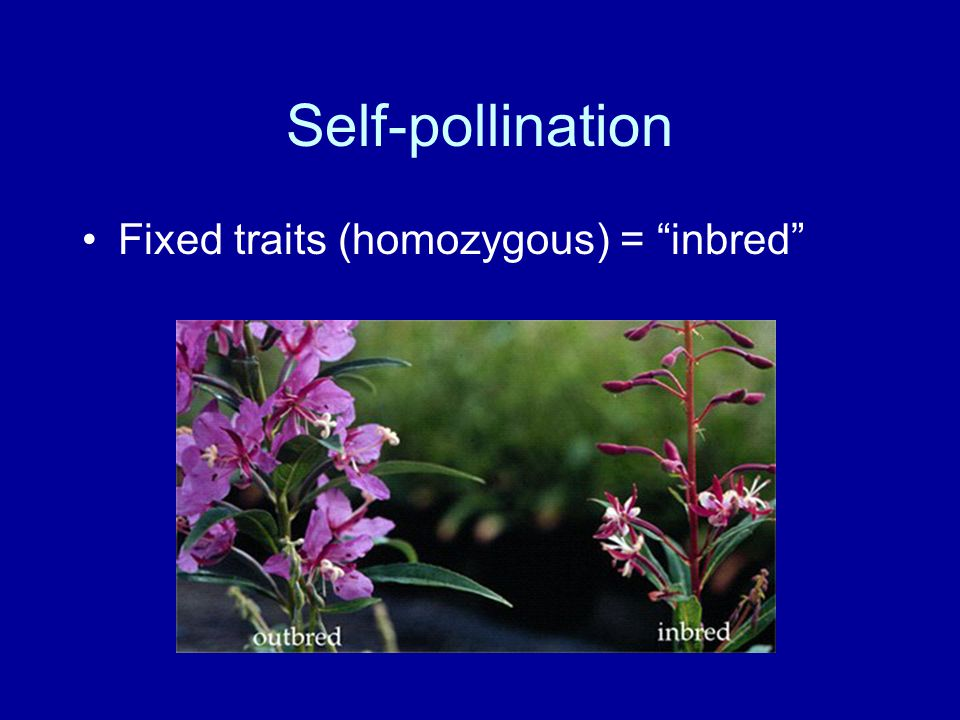 Self-pollination Fixed traits (homozygous) = inbred