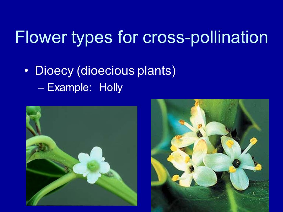 Flower types for cross-pollination Dioecy (dioecious plants) –Example: Holly