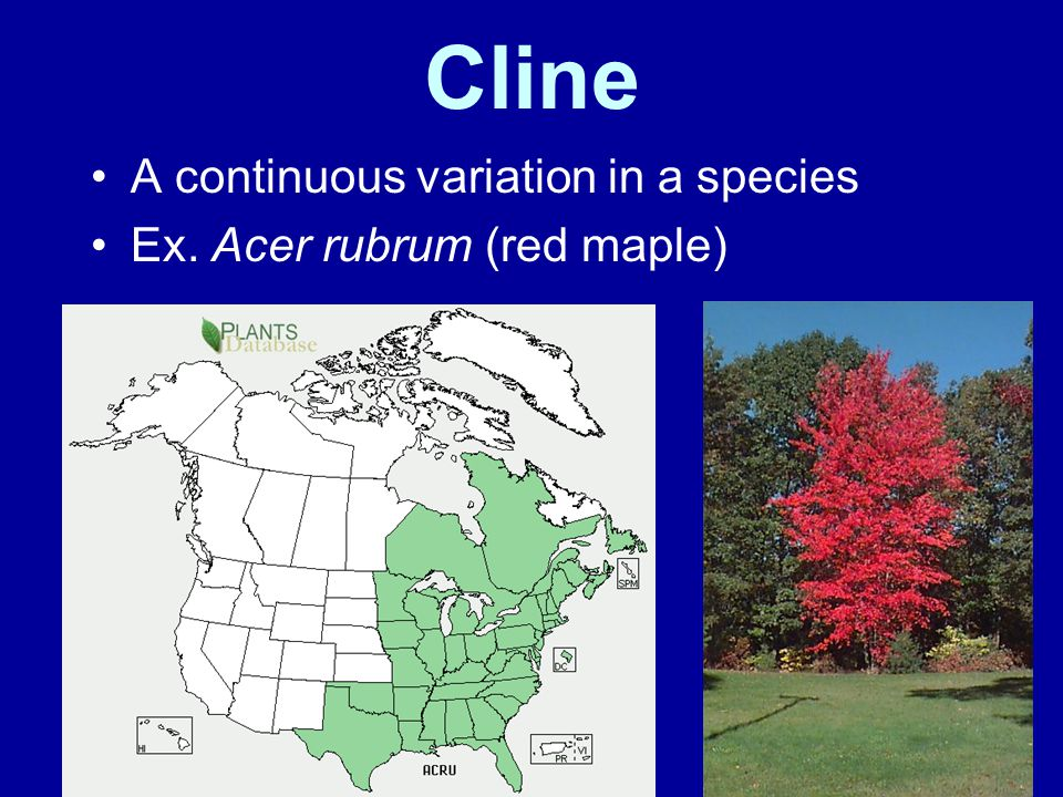 Cline A continuous variation in a species Ex. Acer rubrum (red maple)