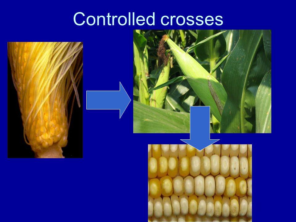 Cross-Pollination & hybrid vigor B73 B73 x Mo17 Mo17