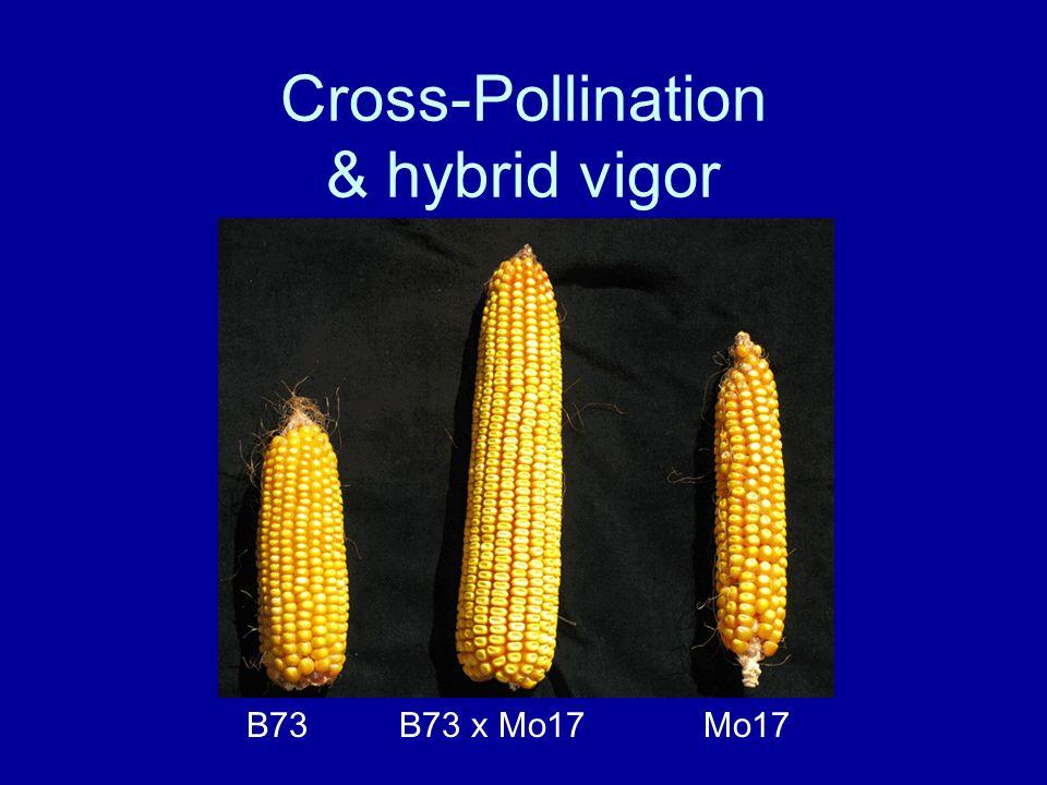 Cross-Pollination & hybrid vigor B73 Mo17 B73 x Mo17