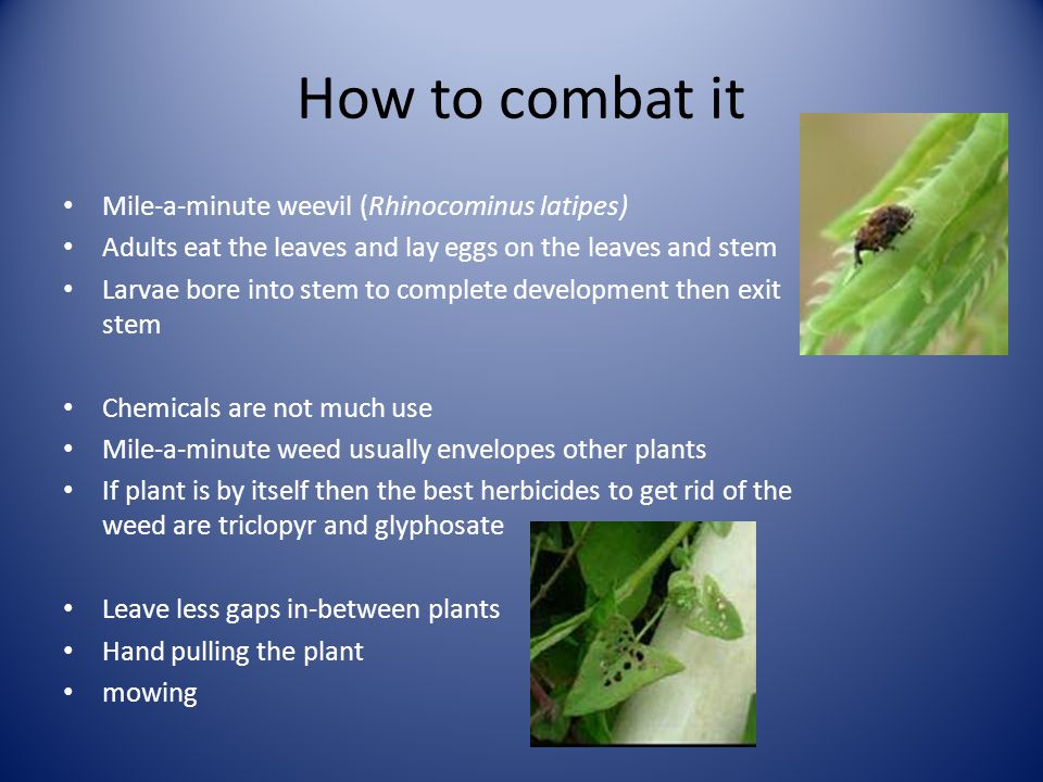 How to combat it Mile-a-minute weevil (Rhinocominus latipes) Adults eat the leaves and lay eggs on the leaves and stem Larvae bore into stem to complete development then exit stem Chemicals are not much use Mile-a-minute weed usually envelopes other plants If plant is by itself then the best herbicides to get rid of the weed are triclopyr and glyphosate Leave less gaps in-between plants Hand pulling the plant mowing