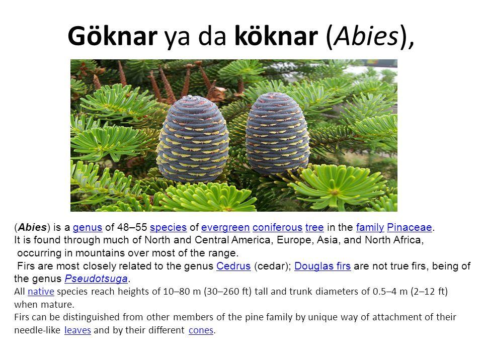 Kara akbabaKara akbaba (Aegypius monachus), There are only 100 aegypius monachus in Turkey.They terminate dead animls in the nature so they help to prevent spreading illnesses.